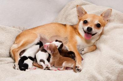 Perra-amamantando-a-sus-cachorros