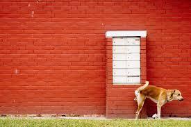 pipi-perro